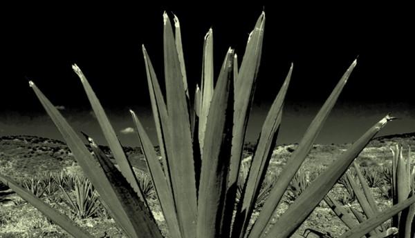 agave-bw5538cfe4bc4cd